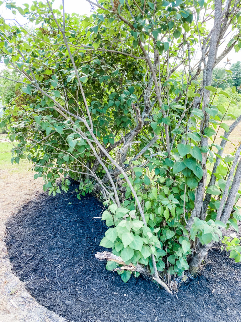 pruning a lilac bush, lilac care